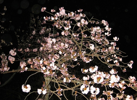 Nijo Castle cherry blossom by night